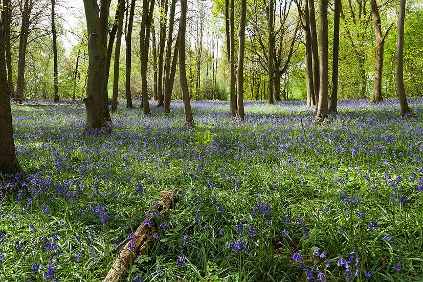 Bluebells, Oversley Woods