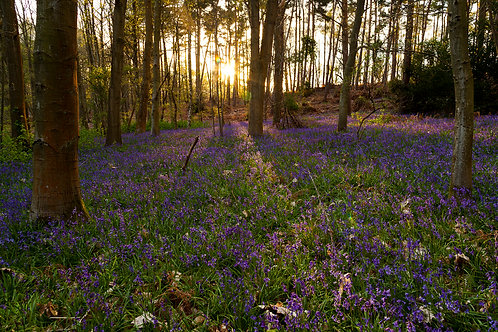 Golden Bluebells- Oversley Woods