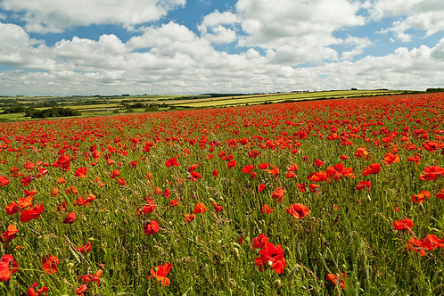 Fifield Poppies