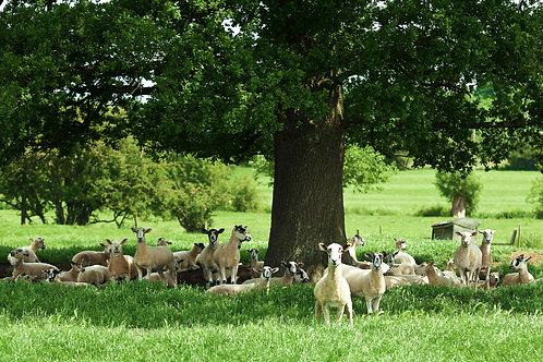 The Herd- Shakespeare's Way