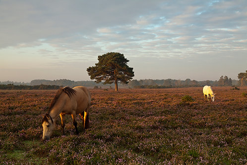 Horses Grazing, Rockford Common- New Forest