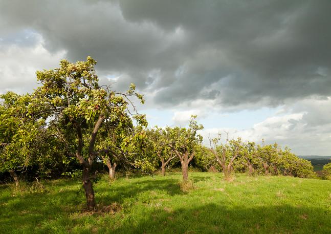Plum Orchard- Church Lench.jpg