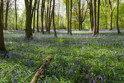Bluebell Carpet- Oversley Woods