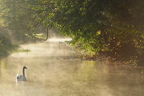 Young Swan- Bibury