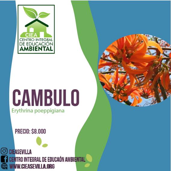 CAMBULO