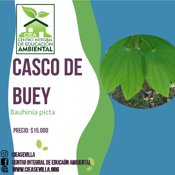 CASCO DE BUEY