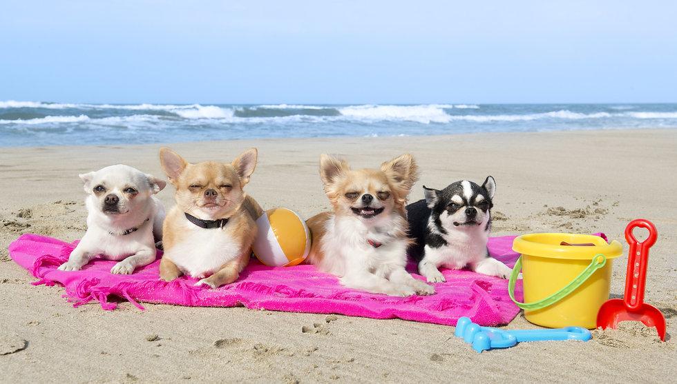 chihuahuas on the beach.jpeg