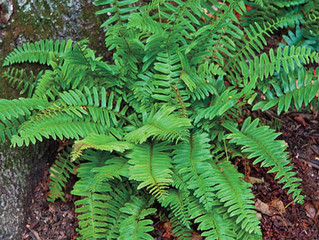 ACT's Nature Corner: Learn Your Ferns on the Arundel Trails