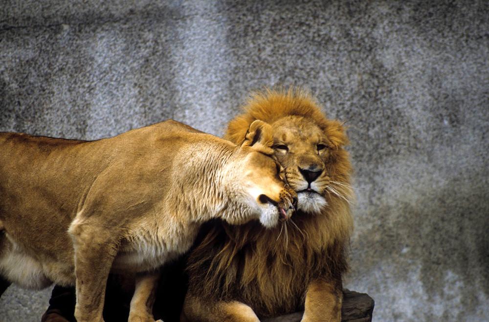 lion fidelity love.jpg