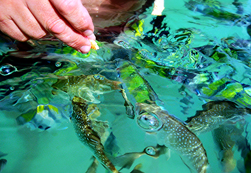 Feeding fish, Koh Hong