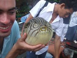 Puffer fish at fish farm