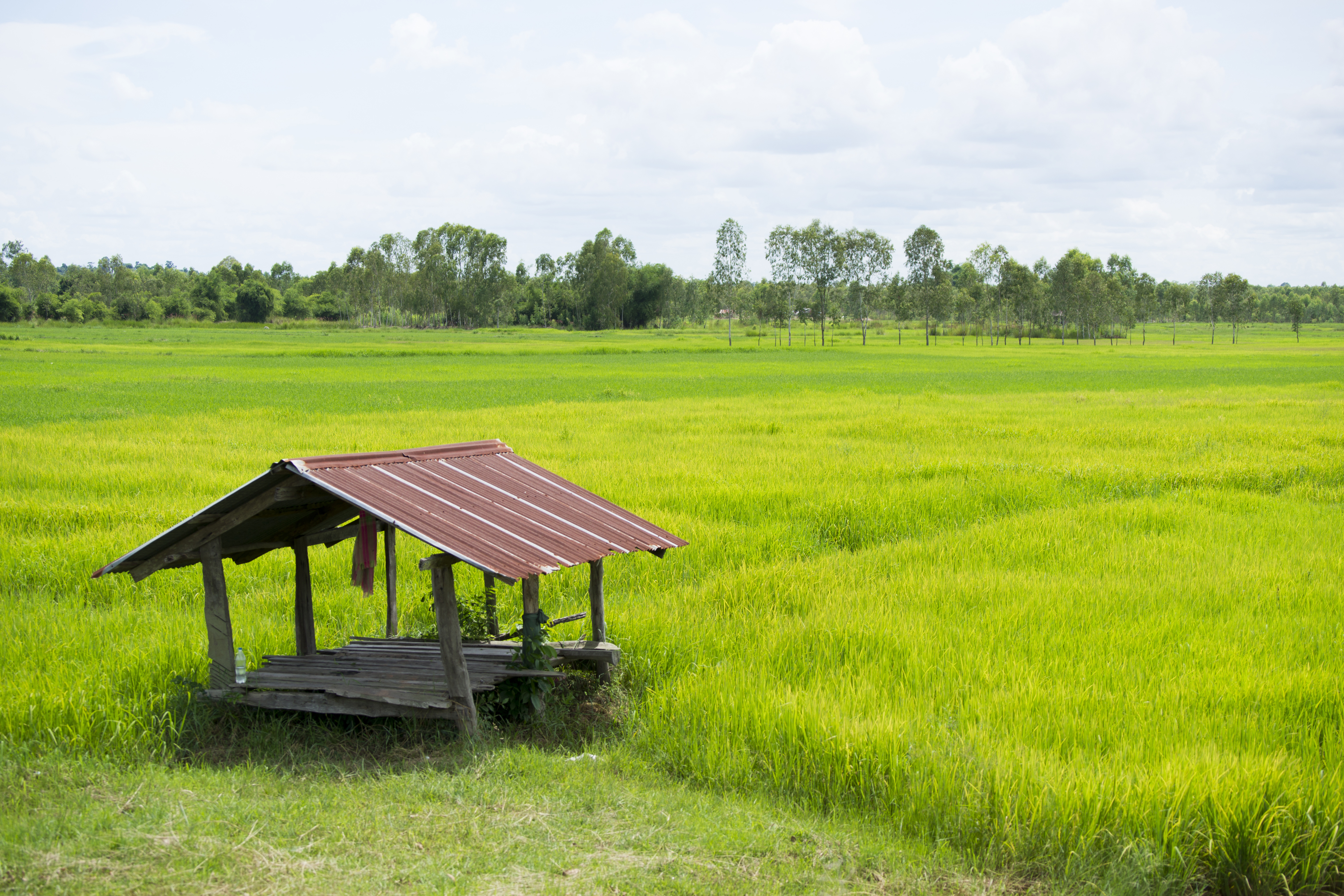 Rice paddy - Koh Klang
