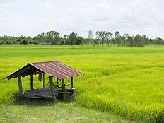 Rice paddy - Koh Klang