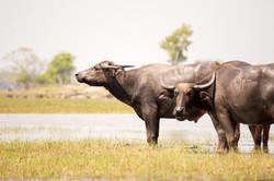 Buffalo - Koh Klang