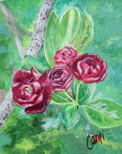 "Hawthorn ""Rose"" Blossoms"