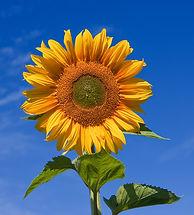 Sunflower_sky_backdrop.jpg