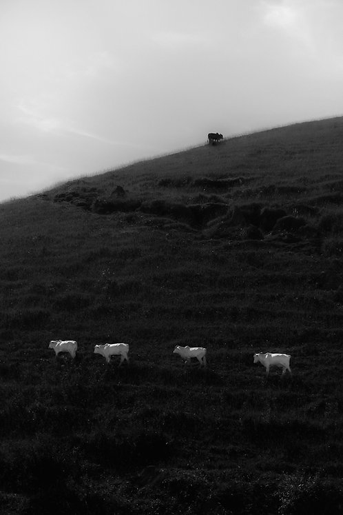 Cattle On The Mountain