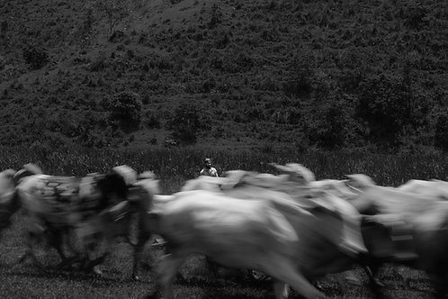Cattle Running