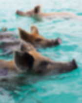 pigs-swimming-PIGALCOHOL0217_1.jpg
