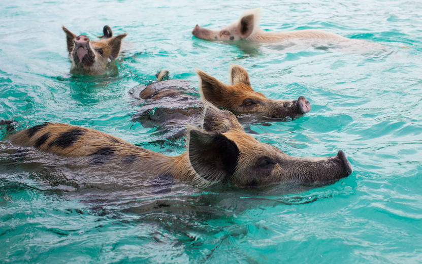 Swimming Pigs! Unique local favoriate