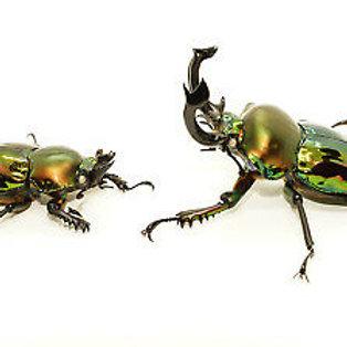 Rainbow Stag Beetle Adult Pair (Phalacrognathus muelleri)