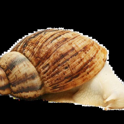 Albino Reticulata Land Snail (Achatina reticulata)