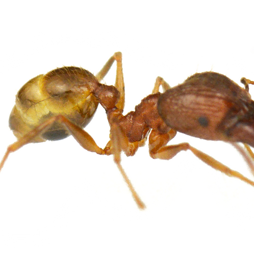 Big Headed Ant (Pheidole noda)