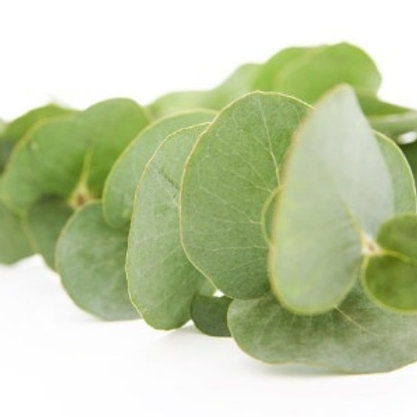 Fresh Cut Eucalyptus Stem (Mixed Species)