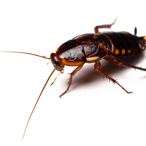 Turkistan Cockroach Colony (Blatta lateralis)
