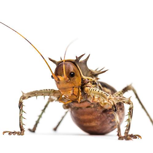Armoured Cricket (Cosmoderus femoralis)