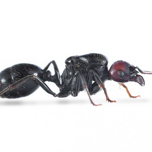 European Harvester Ant (Messor Barbarus)