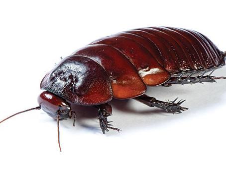 Giant Burrowing Cockroach