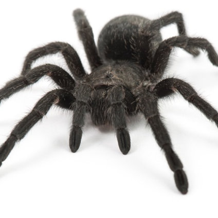 Brazilian Black Tarantula (Grammostola pulchra)