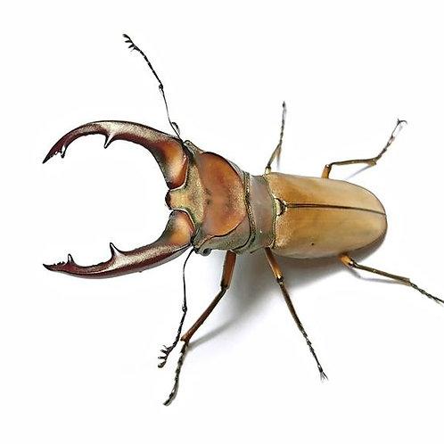Taiwan Stag Beetle Adult MALE (Cyclommatus mnizechi)