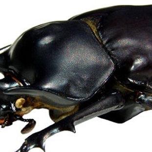 Rhinoceros Beetle Grub (Megasoma acteon)
