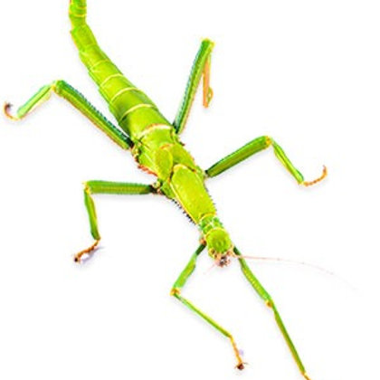 Lime Green Stick Insects  Adult Pair (Diapherodes gigantea)