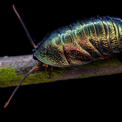 Emerald Cockroach (Pseudoglomeris magnifica)
