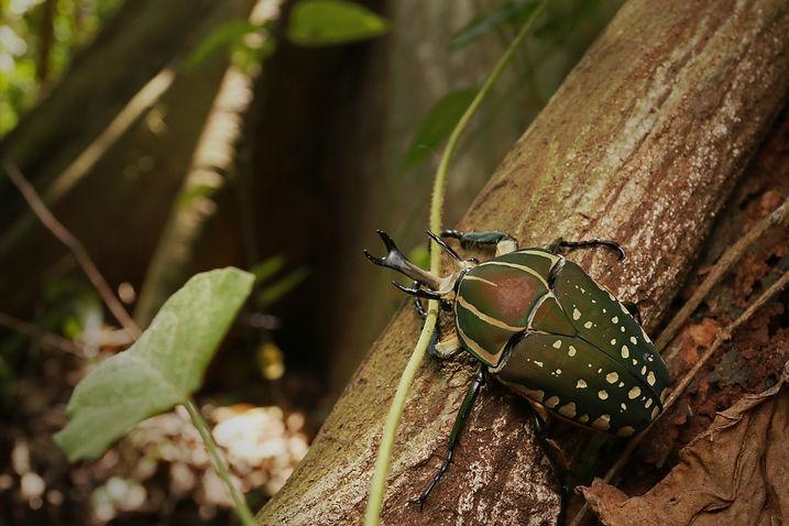 Mecynorhina polyphemus in its natural en