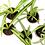 Thumbnail: Spider Plant (Chlorophytum comosum)