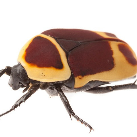 Sun Beetle  Adult (Pachnoda marginata)