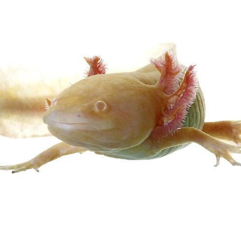 Albino Axolotl (Ambystoma mexicanum)