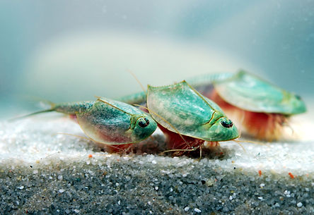 Triops-longicaudatus-group.jpg