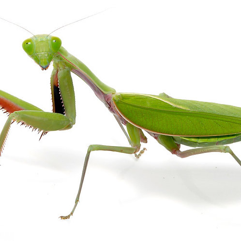 Giant Asian Mantis (Hierodula membranacea)