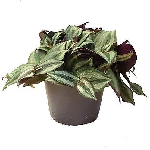 Wandering Jew Plant (Tradescantia zebrina)
