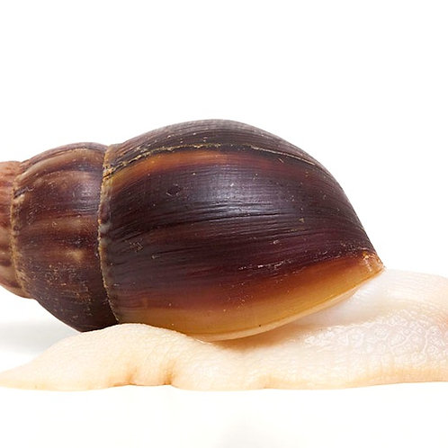 "Giant African Land Snail Albino Body ""Jade"" (Achatina fulica)"
