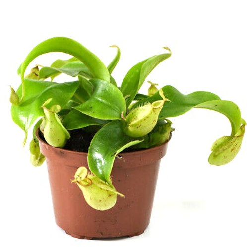 Philippines Pitcher Plant (Nepenthes alata)