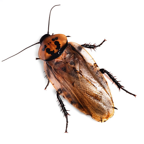 Orange Headed Cockroach Nymph (Eublaberus posticus)