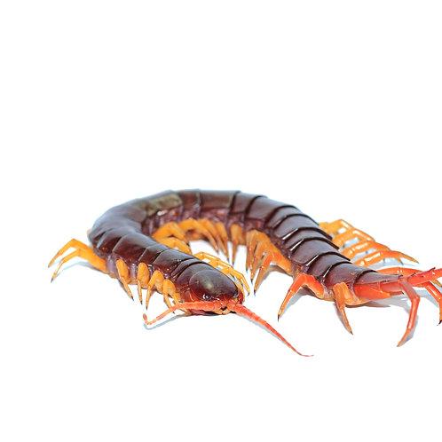 Vietnamese Giant Centipede (Scolopendra dehaani)