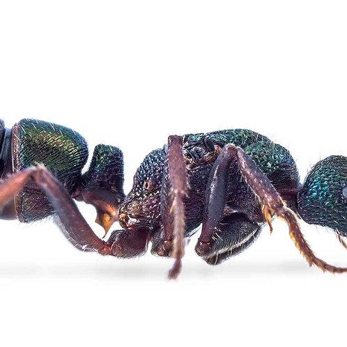 Australian Green Headed Ant (Rhytidiponera metallica)