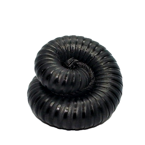 Cameroon Giant Matt Black Millipede (Mardonius parilis acuticonis)